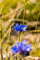 Centaurea Cyanus L. 1753 (Cornflower, Bachelor's Button, Bluebottle, Boutonniere Flower) - PhotoDune Item for Sale