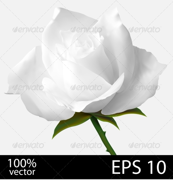 GraphicRiver Realistic White Rose 7815398