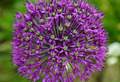 Purple allium flower - PhotoDune Item for Sale