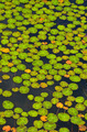 Green lily pad leaves - PhotoDune Item for Sale