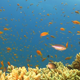 Colorful Fish on Vibrant Coral Reef 770 - VideoHive Item for Sale