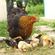 Hen and Baby Chickens - VideoHive Item for Sale