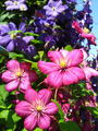 beautiful red flowers of clematis - PhotoDune Item for Sale
