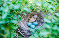 Babies Streak-eared Bulbul in nest with blue eggs - PhotoDune Item for Sale
