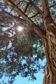 rays of the sun through the branches of the relic juniper - PhotoDune Item for Sale