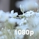 White Garden Flowers - VideoHive Item for Sale