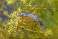 Male Alpine Newt Swimming through Water Vegetation - PhotoDune Item for Sale
