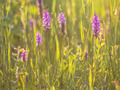 Group of Wild European Orchid in a Grass Field - PhotoDune Item for Sale