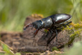 Stag Beetle (Lucanus cervus) Walking over a Log on the Forest Fl - PhotoDune Item for Sale