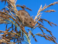 Harvesting Mouse (Micromys minutus) Looking down from Reed Plume - PhotoDune Item for Sale