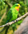 A Superb Parrot (Polytelis swainsonii), also known as Barraband' - PhotoDune Item for Sale