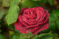Fresh Red Rose - PhotoDune Item for Sale