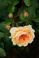 Apricot Rose Blooming - PhotoDune Item for Sale