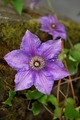 Purple Clematis - PhotoDune Item for Sale