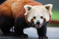 Nepalese Red Panda - PhotoDune Item for Sale