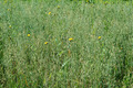 field of oats with yellow flowers - PhotoDune Item for Sale