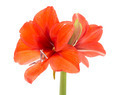 Blooming Amaryllis over a white background - PhotoDune Item for Sale