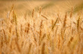 abstract background barley field - PhotoDune Item for Sale