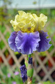 Yellow and purple iris flower - PhotoDune Item for Sale