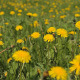 Meadow With Yellow Flowers Of Dandelions - VideoHive Item for Sale