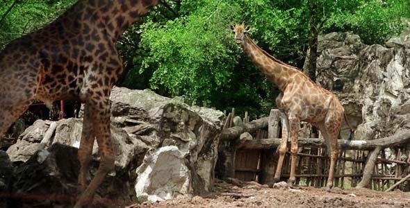 VideoHive Giraffe Couple 7951892