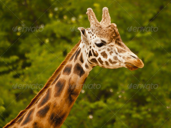 Portrait of a Giraffe - Stock Photo - Images