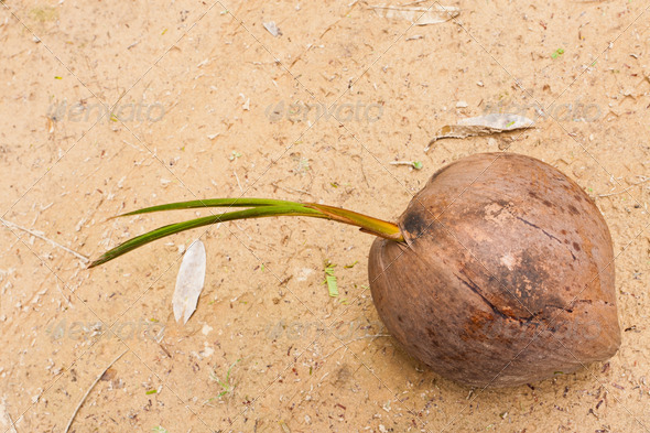 Sprout of coconut tree in garden - Stock Photo - Images