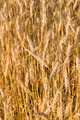 Wheat Background - PhotoDune Item for Sale