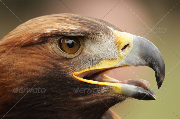 Golden Eagle (Aquila chrysaetos) - Stock Photo - Images