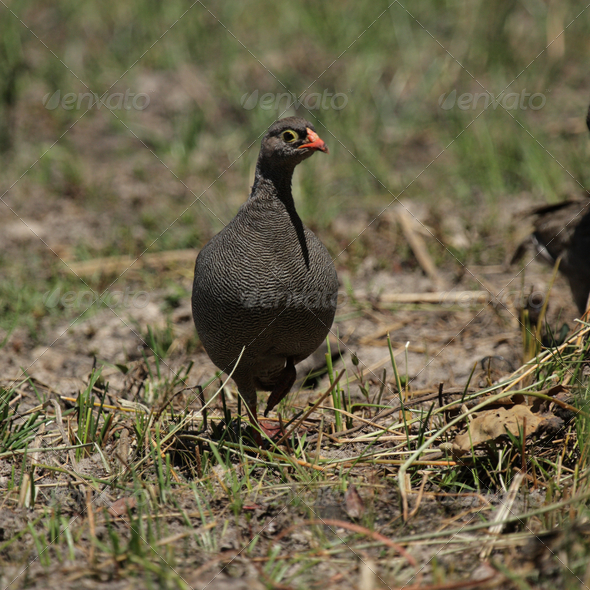 Red-billed Francolin (Pternistes adspersus) - Stock Photo - Images