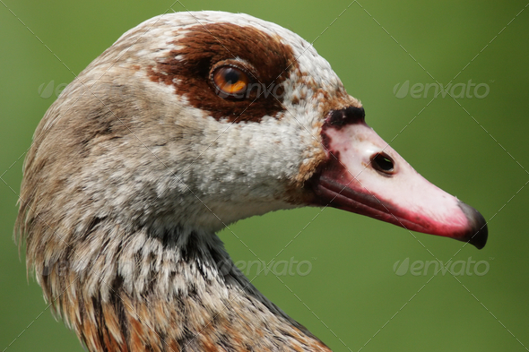 Egyptian Goose (Alopochen aegyptiacus). - Stock Photo - Images