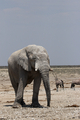 Elephant (Loxodonta africana) - PhotoDune Item for Sale