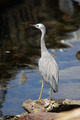White-faced Heron (Egretta novaehollandiae) - PhotoDune Item for Sale