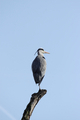 Grey Heron (Ardea cinerea) - PhotoDune Item for Sale