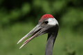 Red-crowned Crane (Grus japonensis) - PhotoDune Item for Sale