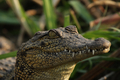 Nile Crocodile (Crocodylus niloticus) - PhotoDune Item for Sale