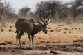 Greater Kudu (Tragelaphus strepsiceros) - PhotoDune Item for Sale