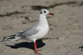 Black-headed Gull (Larus ridibundus) - PhotoDune Item for Sale