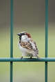 House Sparrow (Passer domesticus) - PhotoDune Item for Sale