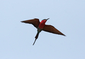 Carmine Bee-eater (Merops nubicoides) - PhotoDune Item for Sale