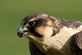 Peregrine Falcon (Falco peregrinus) - PhotoDune Item for Sale