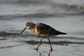 Curlew sandpiper (Calidris ferruginea) - PhotoDune Item for Sale