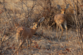 Two Steenbok (Raphicerus campestris) - PhotoDune Item for Sale