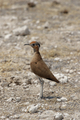 Burchell's Courser (Cursorius rufus) - PhotoDune Item for Sale