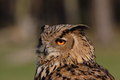 Eagle Owl (Bubo bubo) - PhotoDune Item for Sale