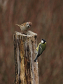 Tree Sparrow and Great Tit - PhotoDune Item for Sale