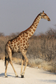 Giraffe (Giraffa camelopardalis) - PhotoDune Item for Sale