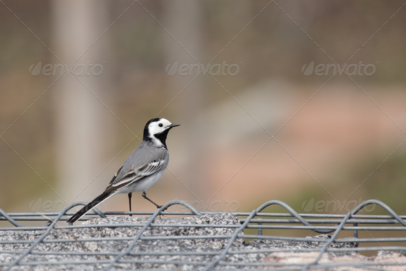 White Wagtail (Motacilla alba) - Stock Photo - Images