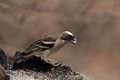 White-browed Sparrow-weaver (Plocepasser mahali) - PhotoDune Item for Sale