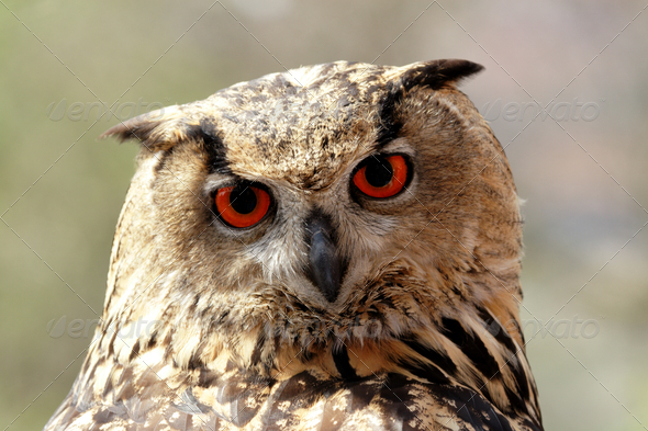 Eagle Owl (Bubo bubo) - Stock Photo - Images